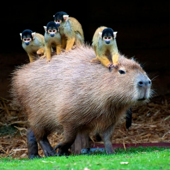 "An image from Ben Breen's blog post, ""Froger's Capybara and the Metaphysics of Memes"""