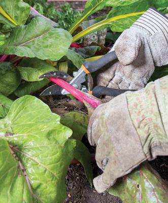 Volunteer harvesting chard