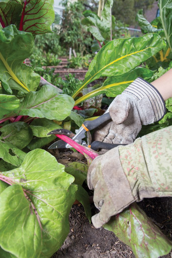 Close-up photo of a student volunteer harvesting chard.