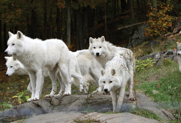 white wolves standing by the water