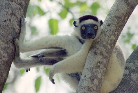 Lemur on tree branch.