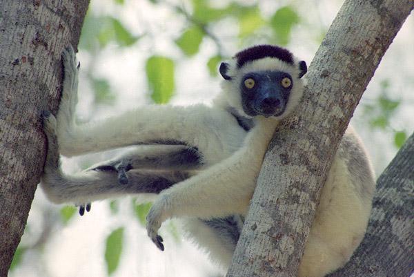 Lemur on tree branch.