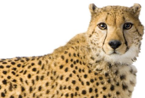 Image of a cheetah.