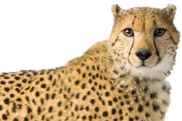 Image of a cheetah.