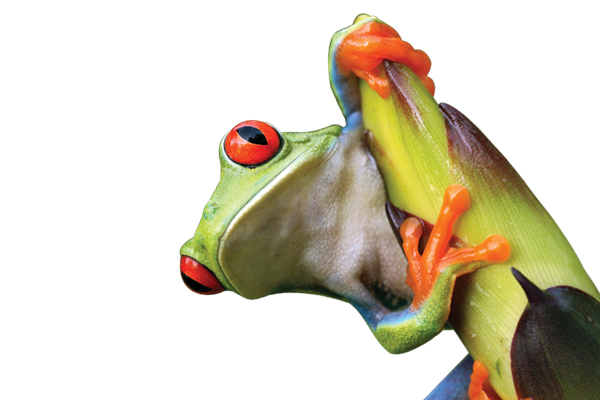 Image of orange-eyed frog on a plant. iStock