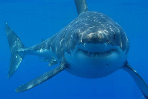 Before Shark Week and 'Jaws,' World War II spawned America's sharkobsession